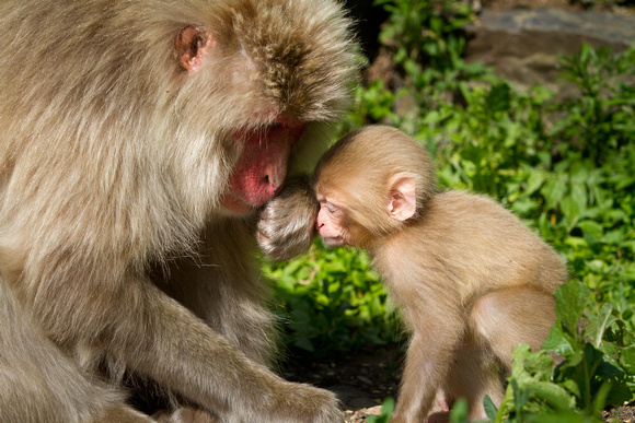 Snow monkey parenting tips (1 of 4)
