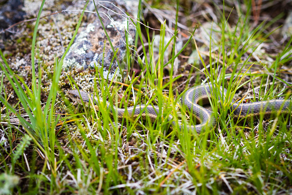 Valley garter snake, Yellowstone National Park