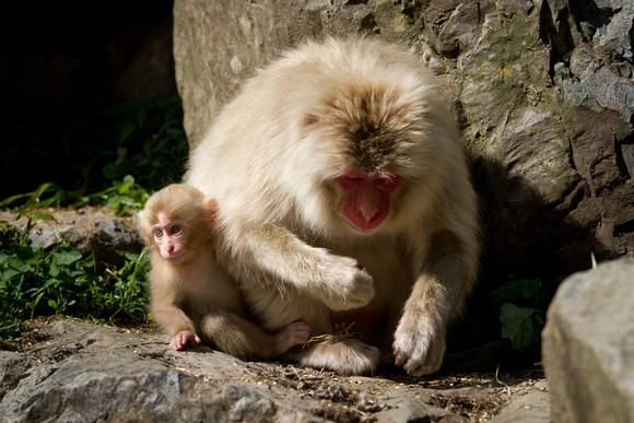 Juvenile snow monkey with mother