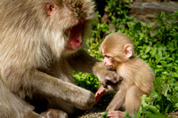 Snow monkey parenting tips (2 of 4)