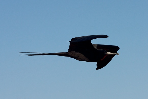 Magnificent Frigate bird in flight