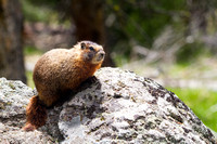 Marmot (?), Yellowstone National Park