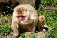 Jigokudani snow monkeys