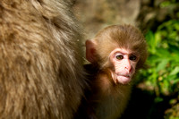 Juvenile snow monkey