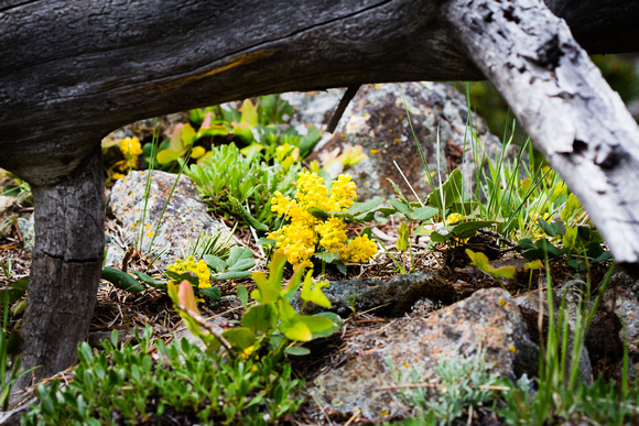 Yellow flowers, Yellowstone National Park
